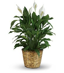 Peace Lilly  Plant         Best Seller