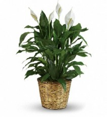 Funeral flowers from mount vernon florist your local mount vernon ny peace lilly plant mightylinksfo