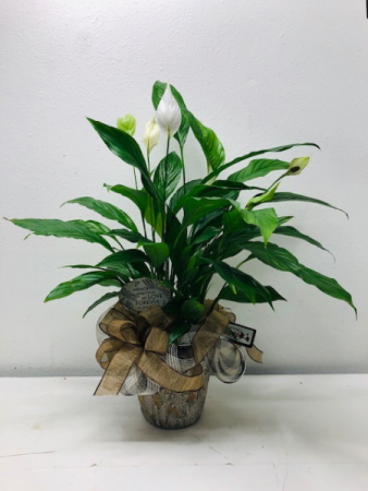 Peace Lily Green Plant