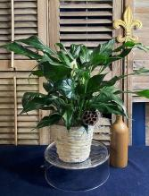 Peace Lily - Spathiphyllum Foliage Plants