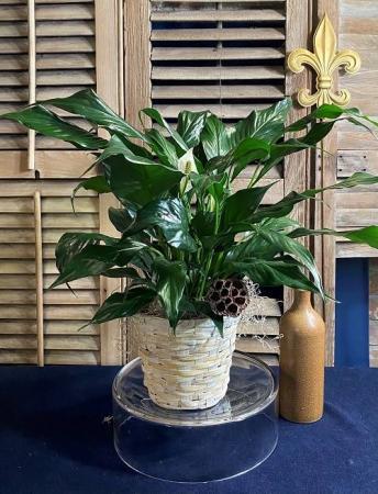 Peace Lily - Spathiphyllum Foliage Plants