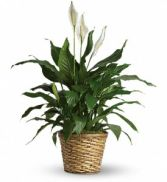Peace Lily (Spathiphyllum)--Medium $50.95, $60.95, $70.95