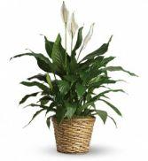 Peace Lily (Spathiphyllum)--Medium $50.95, $60.95, $70.95