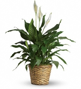 Peace Lily (Spathiphyllum)--Medium $50.95, $60.95, $70.95 in Universal City, TX | BLOOMINGTONS FLOWER SHOP