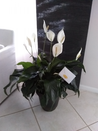 "Peace Lily Plant 10"" H SPATHIPHYLLUM CLEVELANDII"