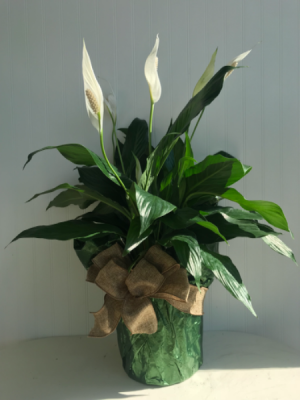 Peace Lily  in Sedalia, MO | State Fair Floral