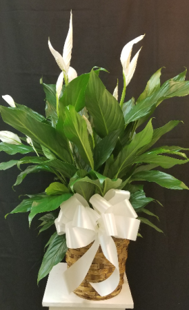Peace Lily  in Tampa, FL | APPLE BLOSSOMS FLORAL DESIGN