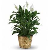 Peace Lily- Medium