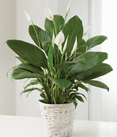 PEACE LILY 6 in, 8 in, 10 in in Stafford, VA | Anita's Beautiful Flowers