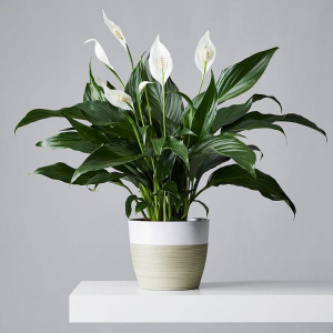 """Peace Lily 6"""" Plant in Owensboro, KY 