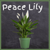 Peace Lily--6