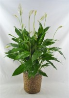 "Peace Lily 8"" Plant"
