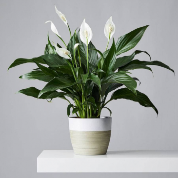 """Peace Lily 8"""" Plant"""