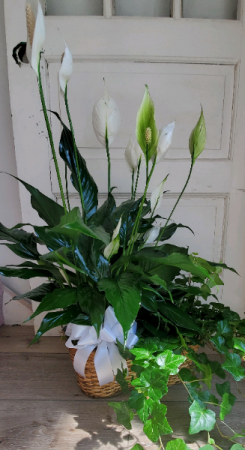 Peace Lily and English ivy  Live plants in New Castle, IN | WEILAND'S FLOWERS