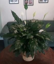 Peace Lily Basket in Bluffton, SC | BERKELEY FLOWERS & GIFTS