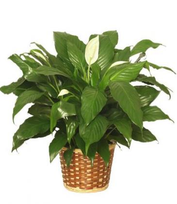 Peace Lily-basket