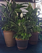Peace Lily Combo Plant