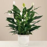 Peace Lily Comfort Planter