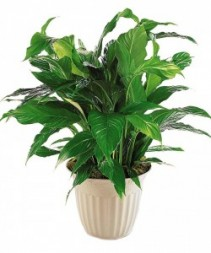 Peace Lily Designer Container Plant