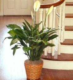 Peace Lily Floor Plant House plant