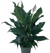 Peace Lily Flowering Plant