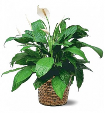 Peace Lily Sympathy Plant Delivery