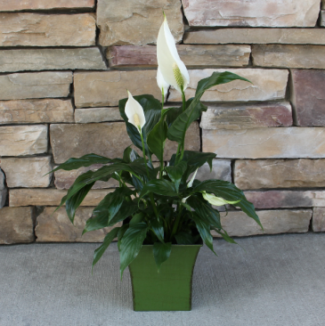Peace Lily Green House Plant