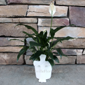 Peace Lily Green Plants