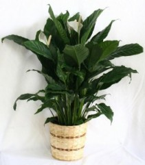 Peace Lily in a Basket Plant