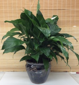Peace Lily in Ceramic Planter Green plant