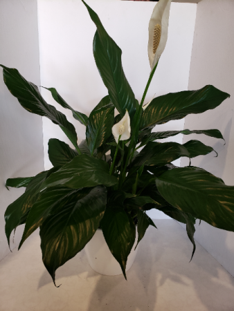 Peace Lily in ceramic pot Plant