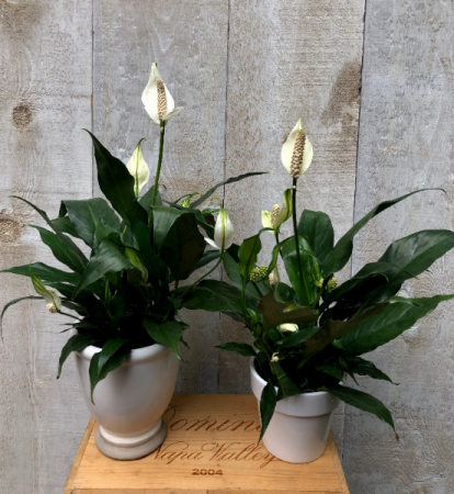 Peace Lily in pot Plant