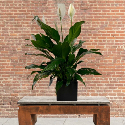 Peace Lily in pottery