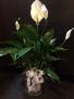 Peace Lily Planter