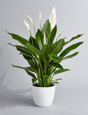 Peace Lily In White Ceramic