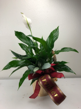 Peace Lily Live blooming indoor plant