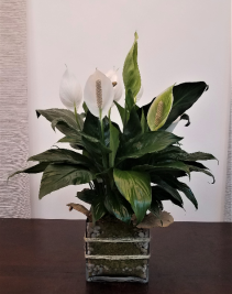 Peace Lily Love Spathiphyllum Clevelandii