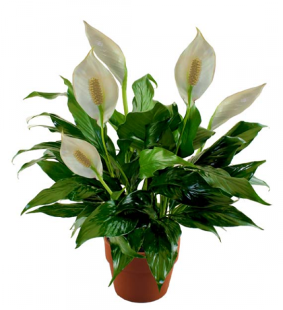 Peace Lily Love