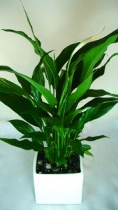 Peace Lily (Medium Spath) Potted Plant
