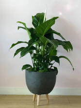 Peace Lily  Next Day Delivery