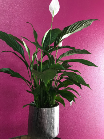Peace lily on  a ceramic container
