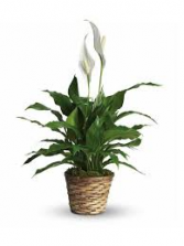 Peace Lily - Small  Plant
