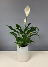 Peace Lily Peace Lily plant in a decorative container