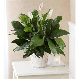 Peace Lily Plant  in Brooklyn, NY | FLORAL FANTASY
