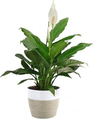 Peace Lily Plant in Coconut Grove, FL | Luxury Flowers