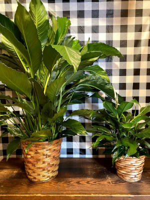 Peace Lily Plant in Flat Rock, MI | Vintage Blossoms