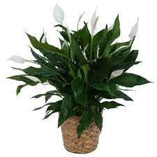 Peace Lily- Large Plant