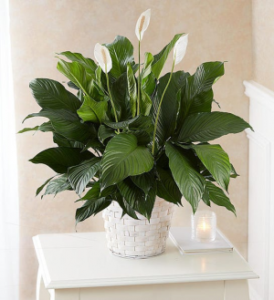 PEACE LILY PLANT  in Lexington, KY | FLOWERS BY ANGIE