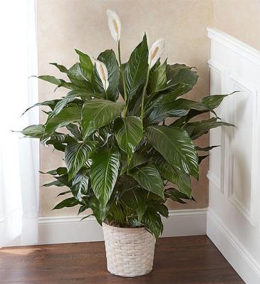 Peace Lily Plant for Sympathy Sympathy