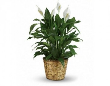 Peace Lily Plant Funeral Plant